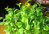 Semillas de plantas de hierba de acuario de hierba de amor, hierba de agua de alfombra de hoja acuática,...