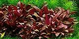 Alternanthera reineckii Mini - 5 x ramo - Plantas naturales para acuarios