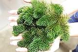 Ceratophyllum demersum - 1 manojo - Planta de acuario vivo
