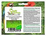 60 Eleocharis acicularis aguja enana plantas acuáticas del acuario de Junco de pantano #288