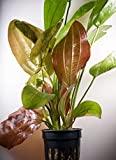 Echinodorus 'Fancy twist' – Planta de Acuario Vivo