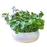 Hydrocotyle Chinensis Plants Seeds 100pcs Plantas acuáticas orgánicas Dinero Hierba Monedas Hierba Planta de...