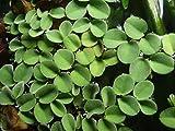 Salvinia cucullata Acuario Flotante plantas