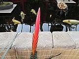 Flaming Sword Bromeliad plant.: Vriesea splendens (English Edition)