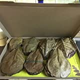 ~100 pequeño hojas de almendro indio (=100 gramos) Ketapang, Indian Almond, Catappa Leaves