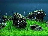 Eleocharis yokoscensis Semillas de plantas 10g Decoraciones orgánicas de tanques de peces Cultivo...