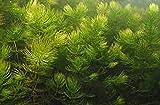 Ceratophyllum Demersum planta de acuario