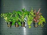 ACUARIOS MARSAN Plantas de Acuario. Lote 6 Tipos B