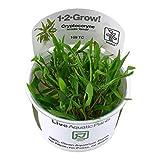 Tropica–cryptocoryne wendtii 1–2'verde crecer.–planta para Acuario