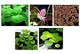 30 plantas flotantes para acuario, 5 tipos diferentes – lechuga de agua, ranas de Amazon, musgo de hadas,...