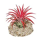 Tillandsia ionantha'Fire' - intense red color