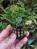 Planta para acuario. HYDROCOTYLE VERTICILLATA