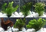 10 Plantas acuáticas Oxigenantes para acuario agua dulce. Cabomba, Elodea, Ambulia, Cola de zorro,...