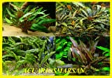 Desconocido Lote 4 Tipos DE CRYPTOCORYNES wendtii Green, wendtii Brown, undulata,Walkeri.