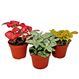 Set with 3 different colored Fittonia -Plant, silvern net leaf, mosaic plant, 9cm pot
