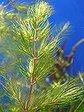 hornwort rojo tallos–Ceratophyllum Demersum rotstengelig–planta para Acuario