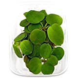 10 x Limnobium laevigatum folating Plants Against Algae - Plantas Naturales para acuarios