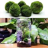 Womdee Marimo Moss-Brillante, Verde, Todas Las Plantas acuáticas Naturales-Ronda 1,6'Marimo Musgo Ball-Las...