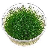 Dwarf Hairgrass - Eleocharis acicularis - in-vitro - Planta acuario viva