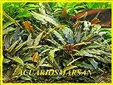 ACUARIOS MARSAN Planta de Acuario,gambario.Cryptocoryne wendtii Brown
