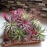 100 semillas de Tillandsia Lonantha, de WuWxiuzhzhuo; especie de planta exótica, varios colores; decoración...