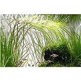 3 Bunch Vallisneria nana - Plantas para acuarios