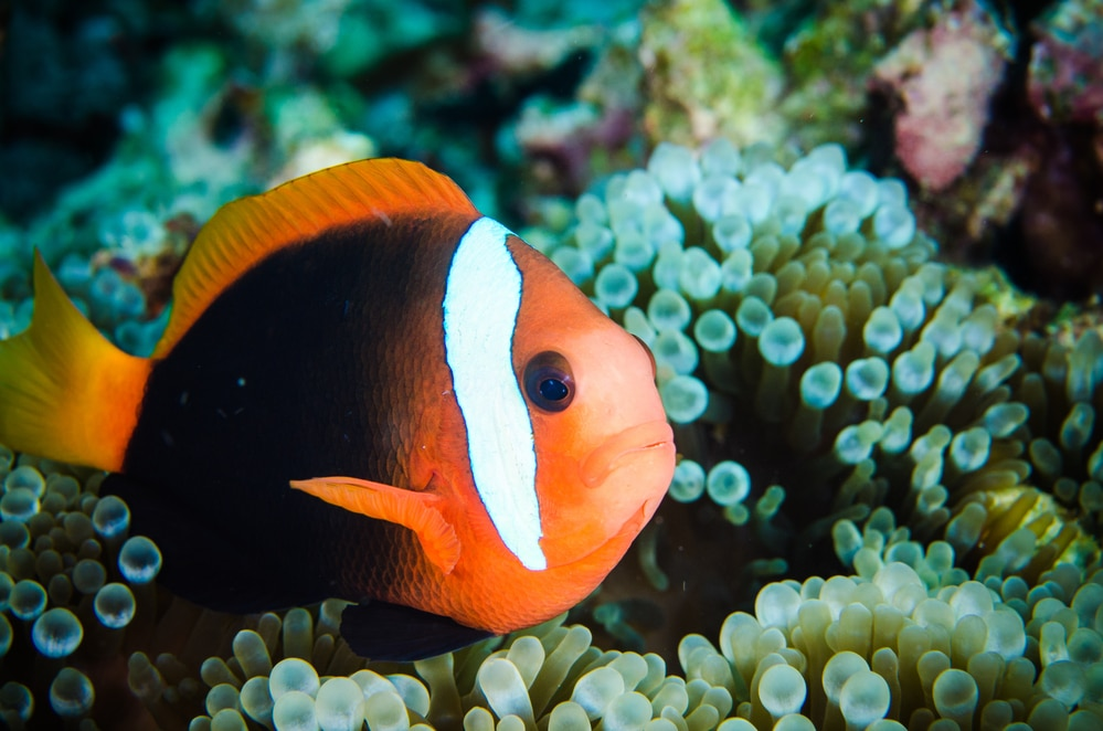 clownfish amphiprion melanopus