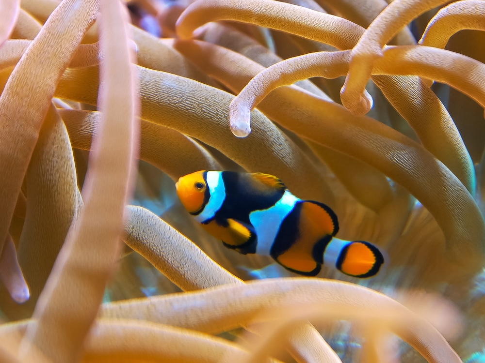 percula clown fish in anemone