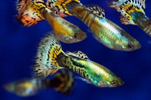 Los 5 métodos de estimulación del desove de los peces