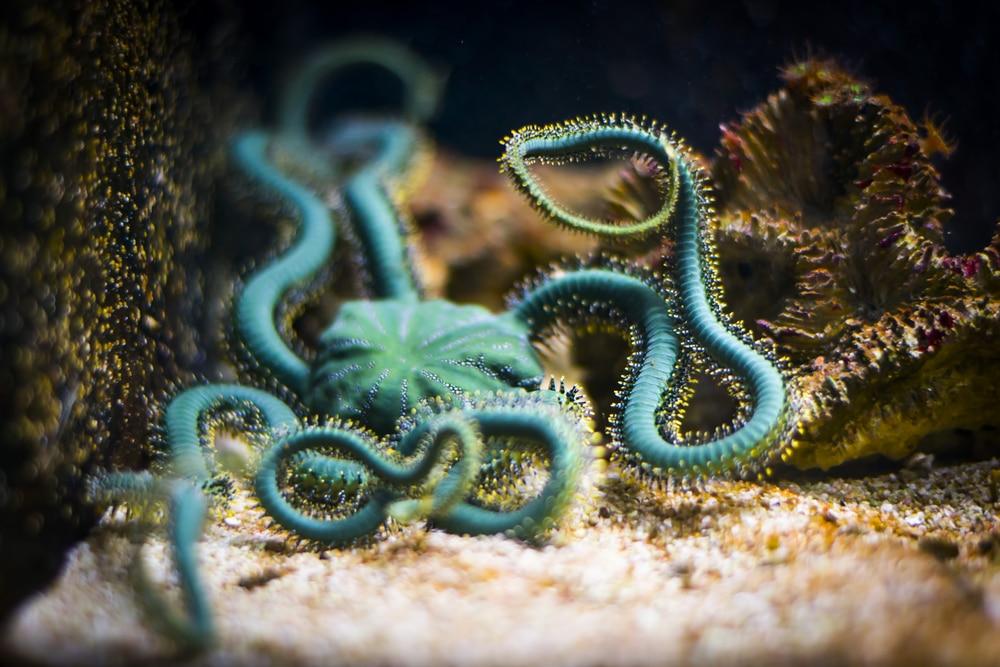 green Brittle star in aquarium