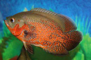 Mirando más de cerca los peces Oscars