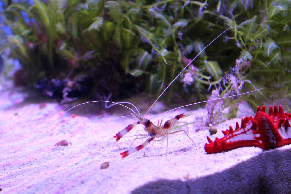 saltwater aquarium shrimp