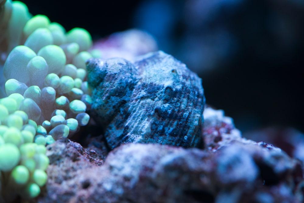 saltwater aquarium snail