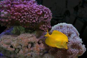 Especies de peces de arrecifes de coral para tanques de agua salada